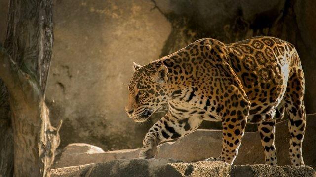 Большая хищная кошка бродит по скалам