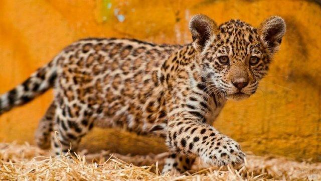 Детёныш ягуара крадётся по сухой траве