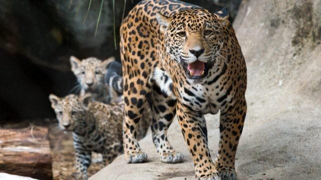 Хищник с детёнышами в зоопарке