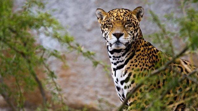 Хищник со строгим взглядом