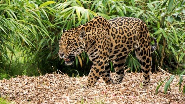 Ягуар бродит по сухой листве