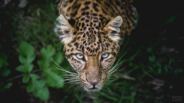 Ягуар глядит снизу