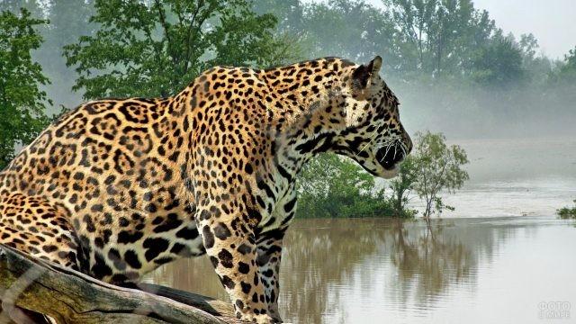 Ягуар на берегу реки