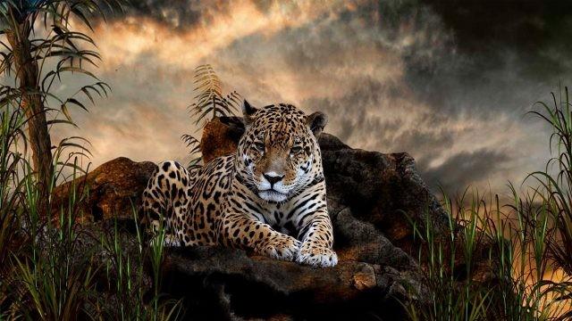 Ягуар на камнях