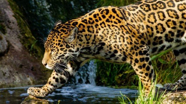 Ягуар у водопада