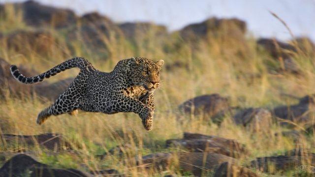 Ягуар в прыжке