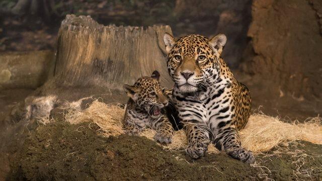Маленький ягуар с мамой