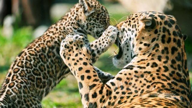Мама-ягуар играет с детёнышем