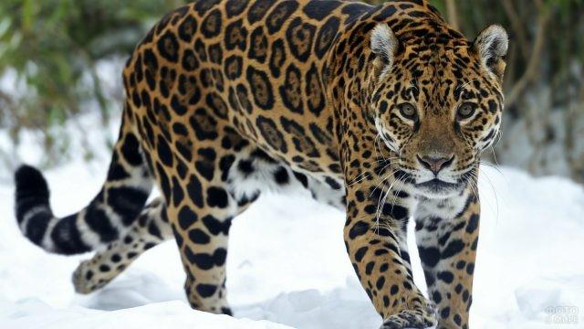 Пятнистая кошка гуляет по зимнему лесу