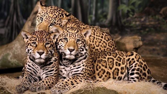 Семейство ягуаров