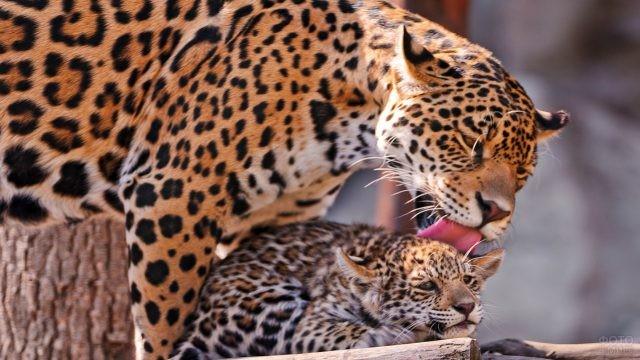 Взрослый ягуар вылизывает детёныша