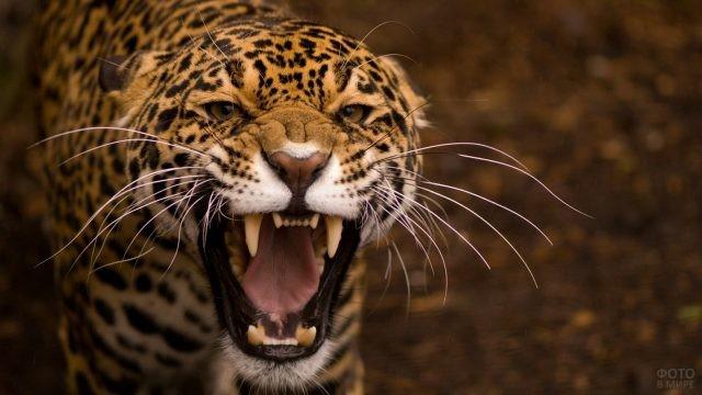 Злой оскал ягуара