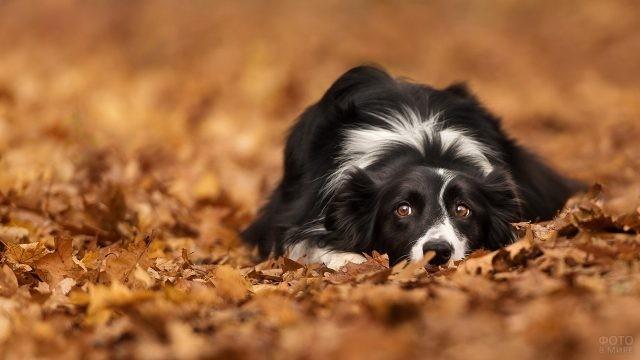 Грустная собака распласталась на осенних листьях