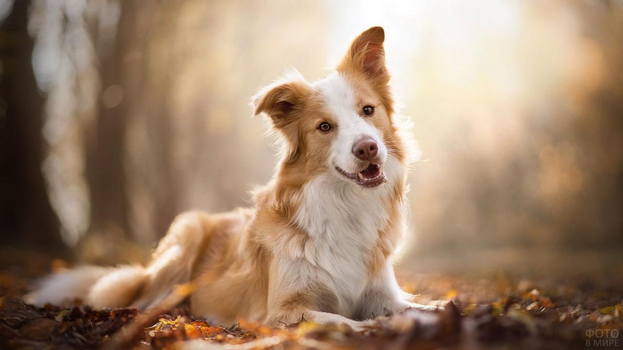 Красивый пёс на осенней листве