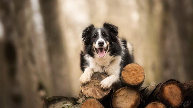 Милый пёс на брёвнах