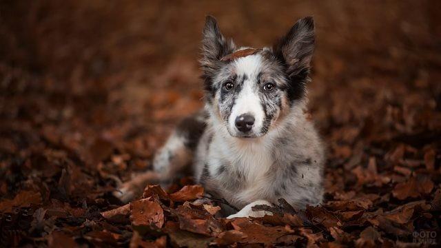 Мраморная собака лежит в осенней листве