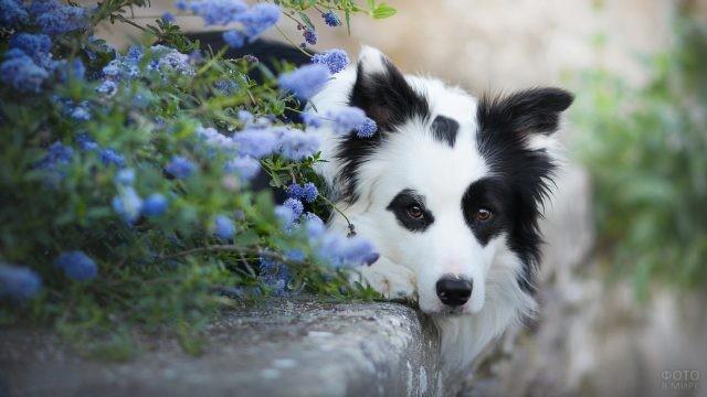 Собачка на бордюре за синими цветами