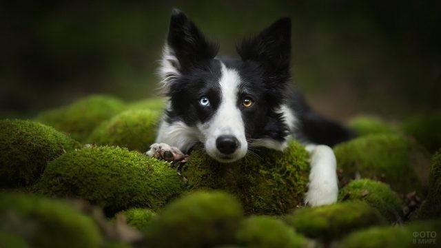 Собака с гетерохромными глазами лежит на кочках