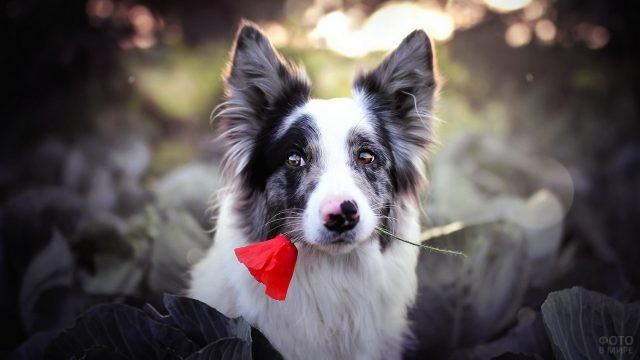 Трогательный пёс в капусте держит в зубах мак