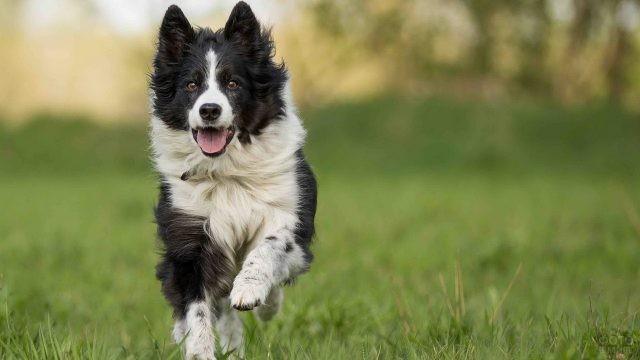 Весёлая собака бежит по траве