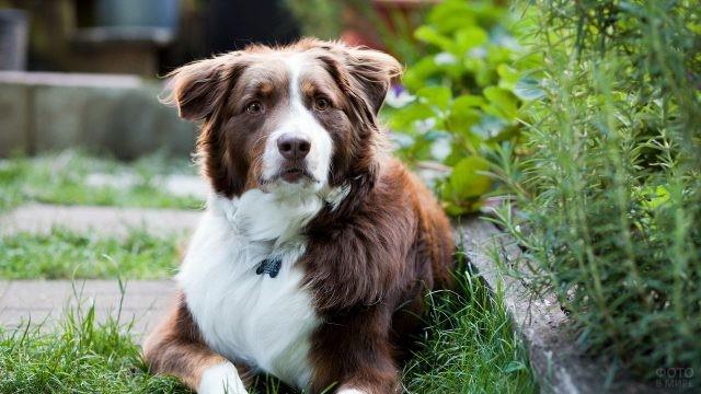 Внимательная рыже-белая собака во дворе