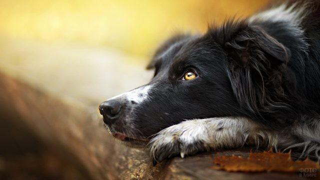 Задумчивая собака смотрит вверх, лёжа на деревянной доске