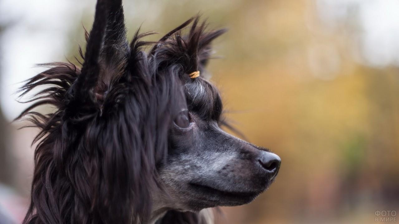 Чёрная китайская хохлатая собака смотрит в сторону