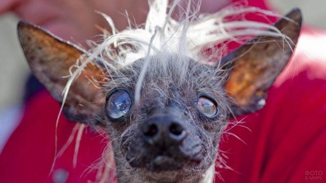 Чудная собака с редкой шерстью на красном фоне