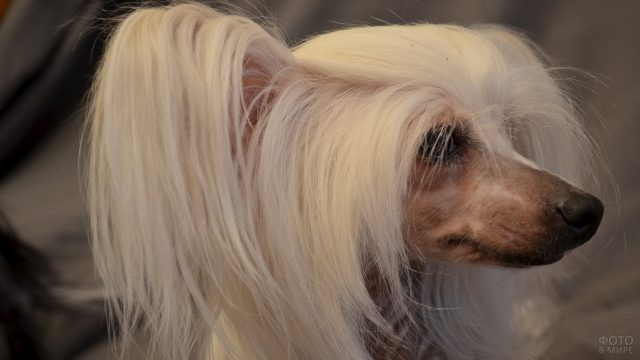 Длинная шерсть на голове у китайской хохлатой собаки