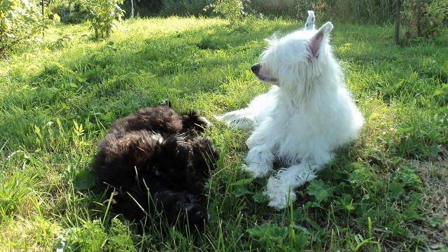 Длинношёрстные китайские хохлатые собаки в траве
