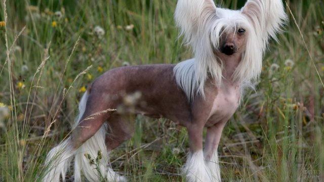 Голая китайская хохлатая собака среди травы