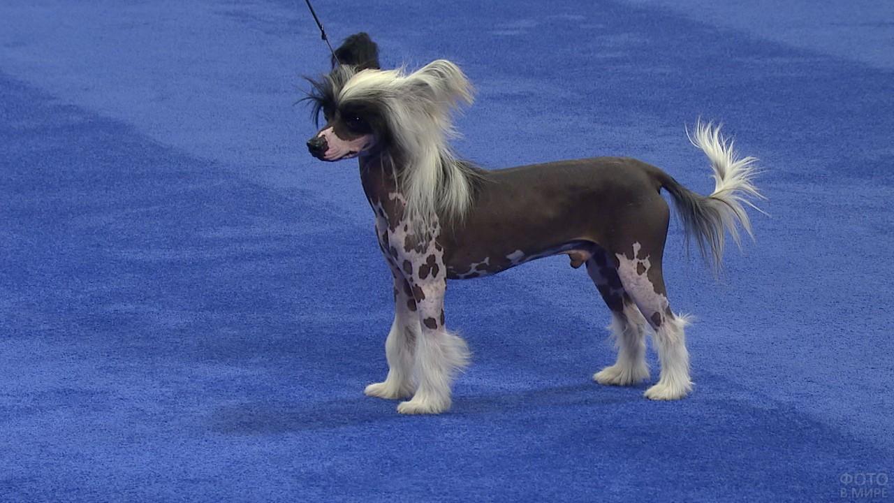 Китайская хохлатая собака на синем покрытии