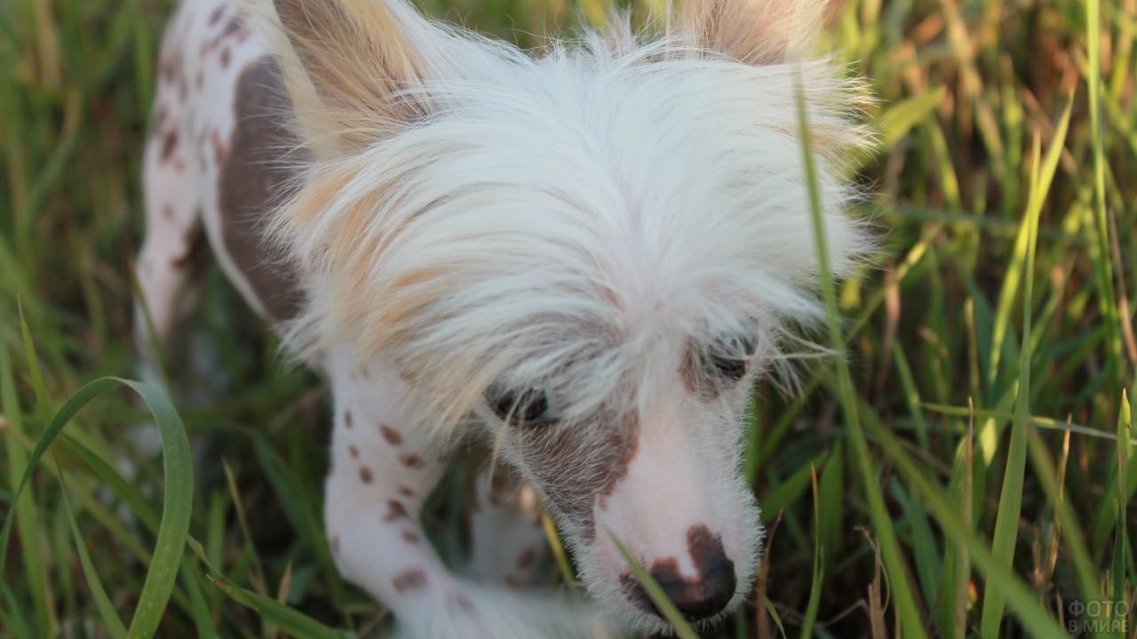 Китайская хохлатая собака пробирается через траву