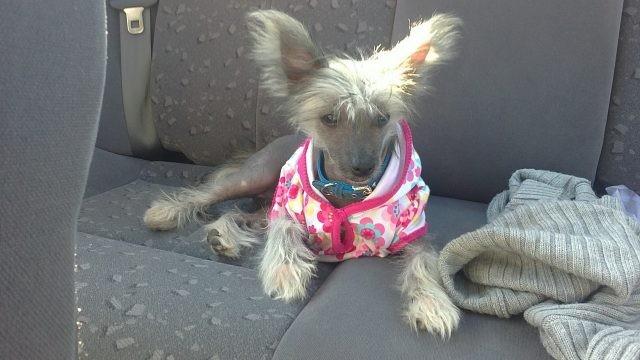 Маленькая собачка в одежде на сидении автомобиля