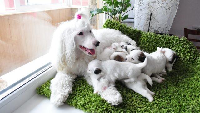 Мамочка паудер-пафф с щенками на подоконнике