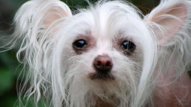 Портрет китайской хохлатой собаки