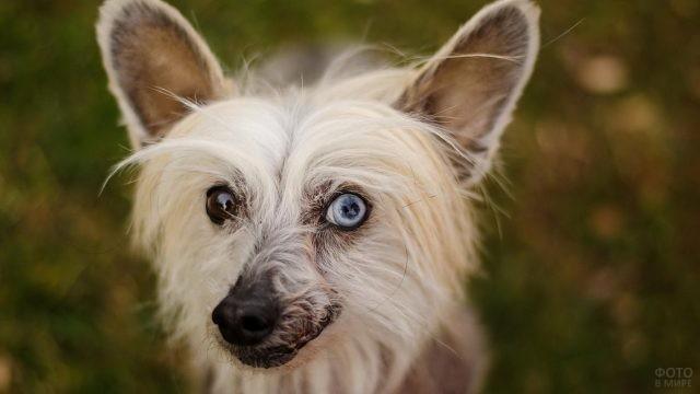 Разноцветные глаза у улыбчивой собаки