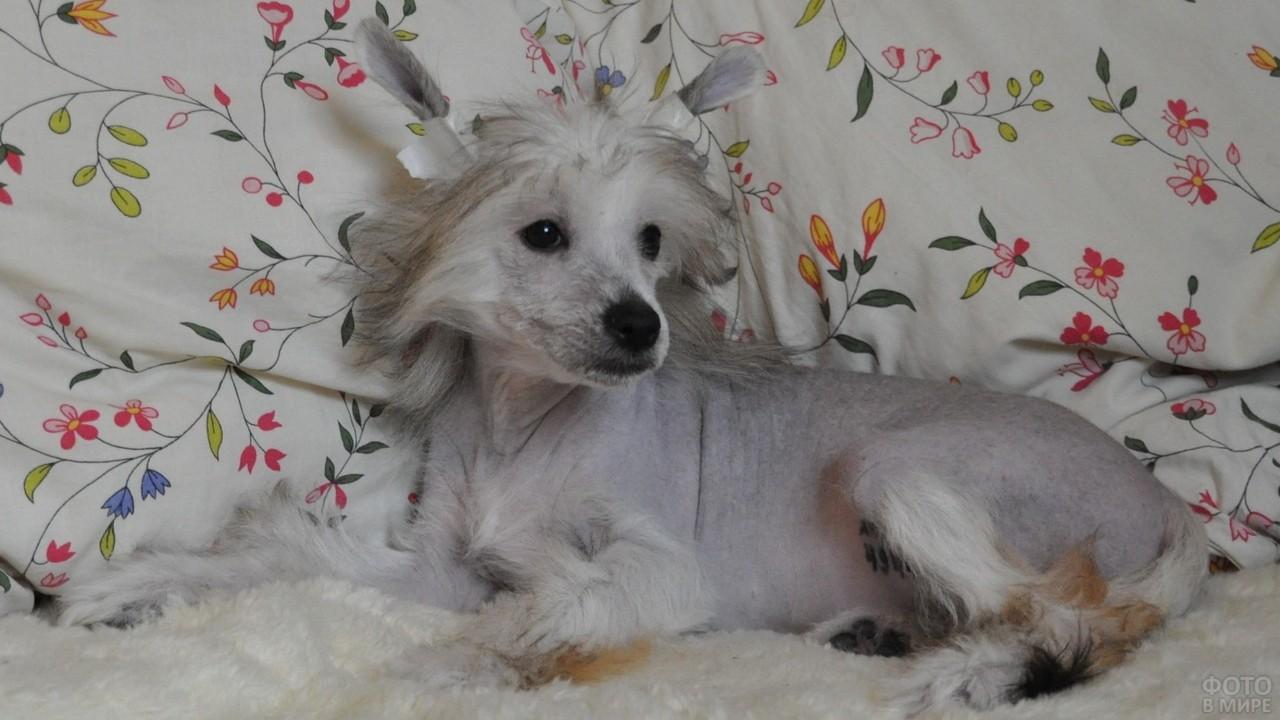 Серая китайская хохлатая собака на белом покрывале