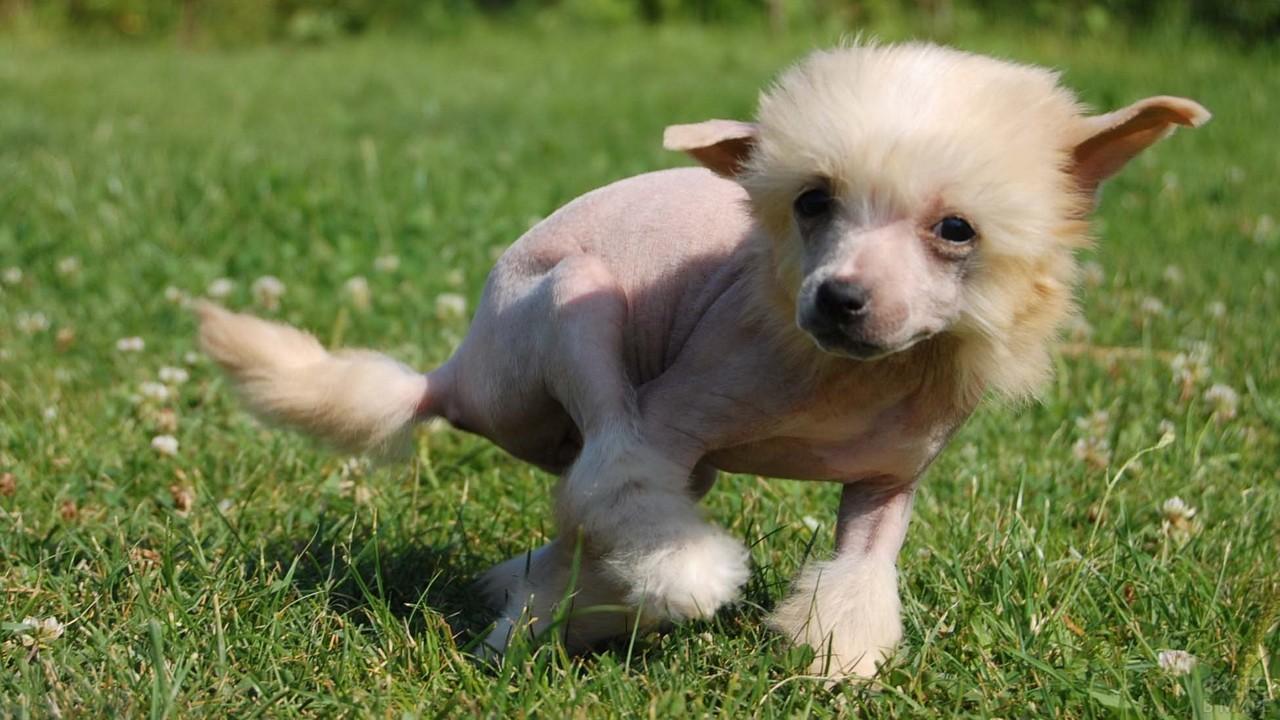 Смешной щенок бежит по газону