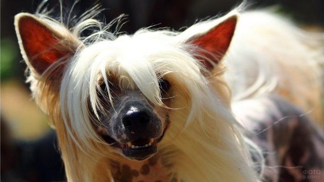 Собачка показывает зубы