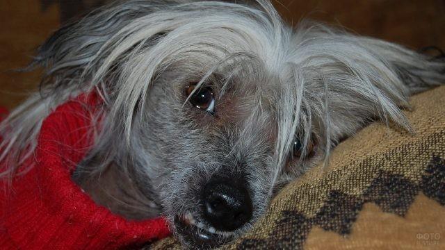 Собака в красном свитере лежит на подушке