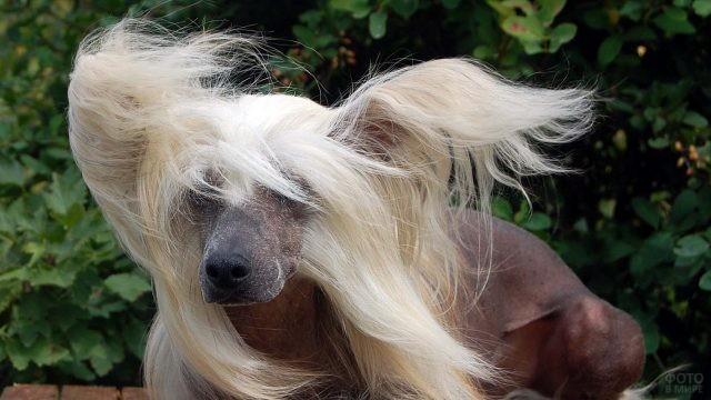 Стильная причёска собаки развевается на ветру