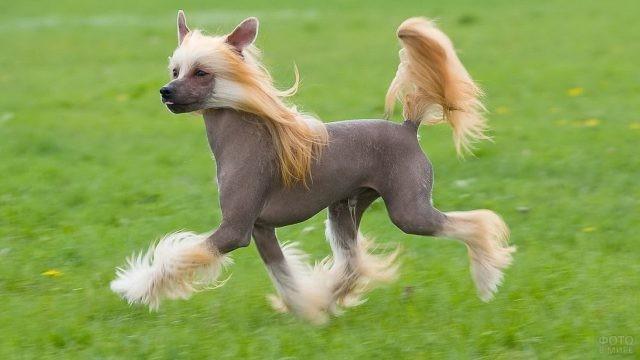 Тёмная голая собака бежит по газону