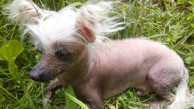 Уставшая китайская хохлатая собака в траве