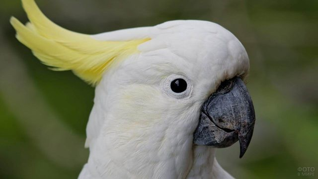 Белый какаду с жёлтым хохолком