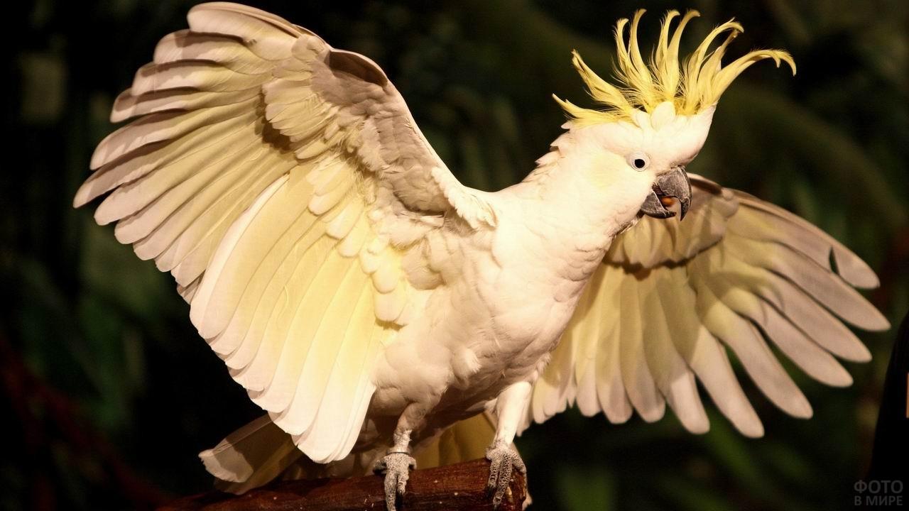 Белый попугай какаду расправил крылья