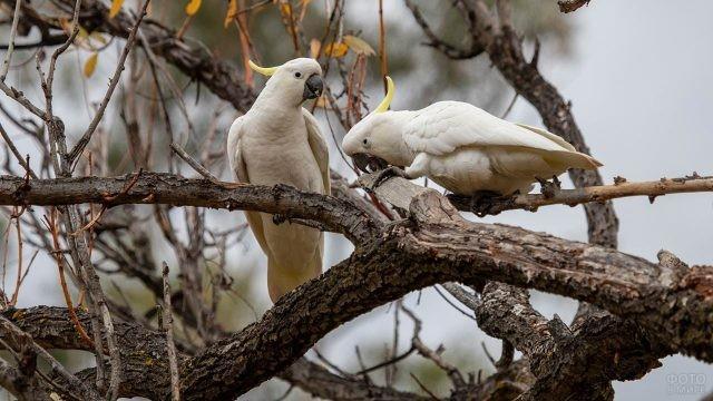 Два белых какаду сидят на ветке