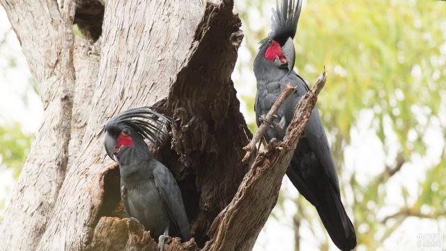 Два чёрных попугая какаду