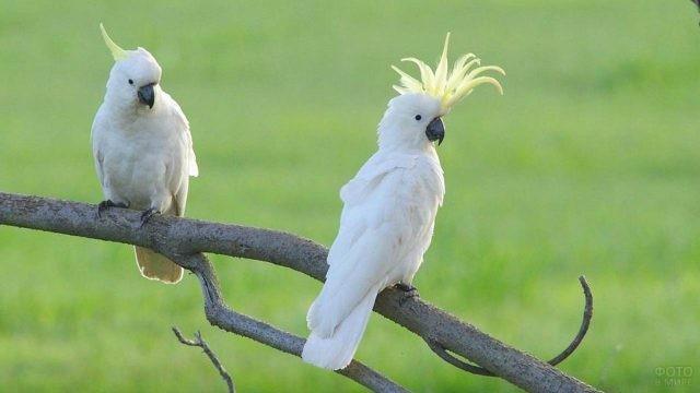 Два какаду сидят на одной ветке