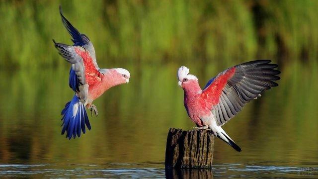 Один попугай какаду подлетает к другому